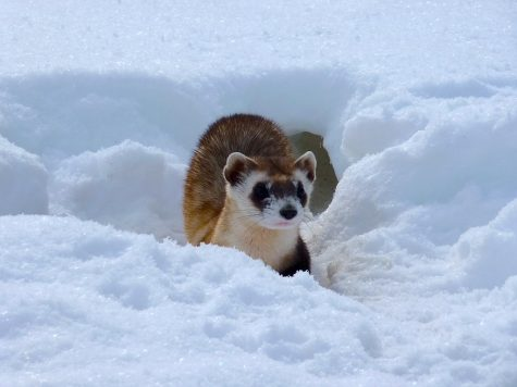 The endangered black footed ferret in the wild, living peacefully.