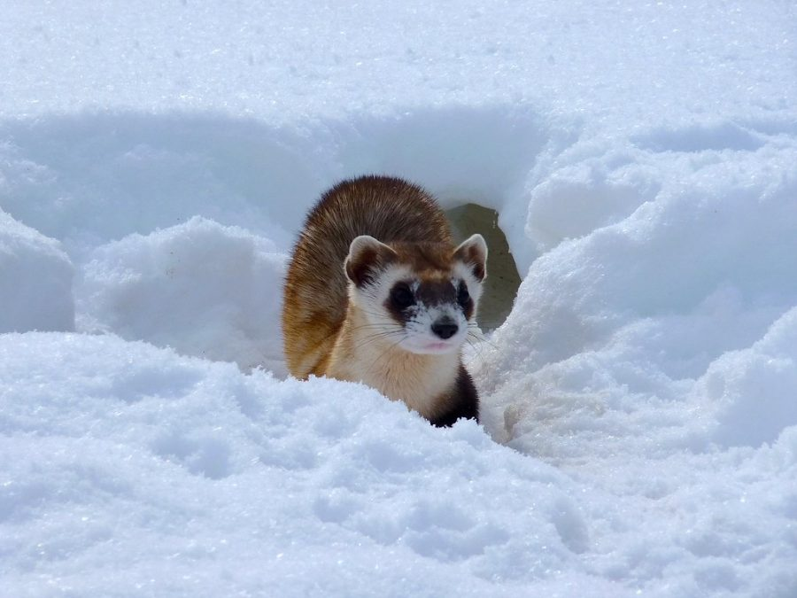 The+endangered+black+footed+ferret+in+the+wild%2C+living+peacefully.